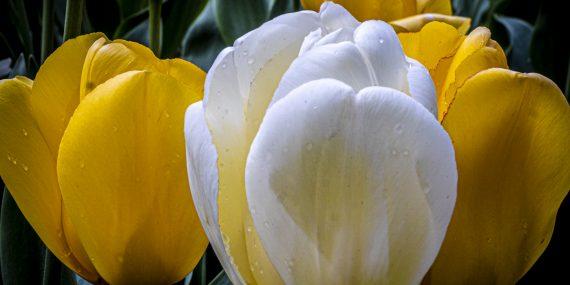 The art of isolation - photographing tulips - Bush Pasture Park - Salem - Oregon