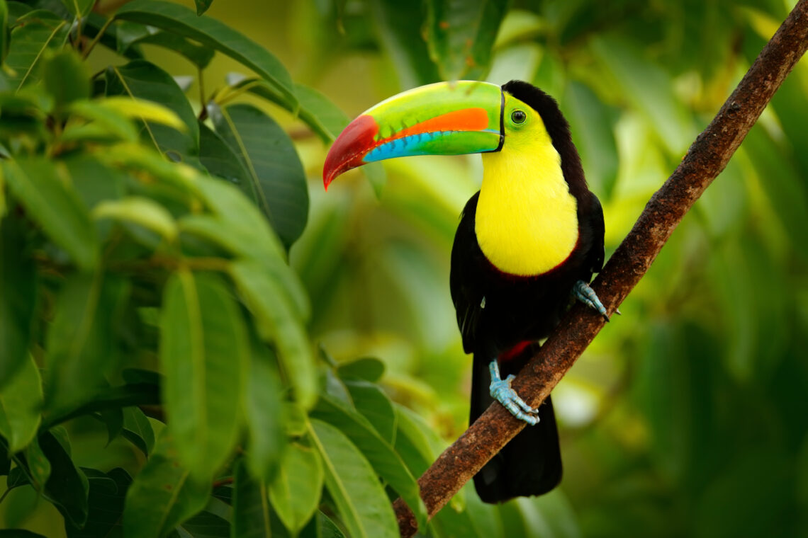 Keel Billed Toucan - Costa Rica - Rain Forest